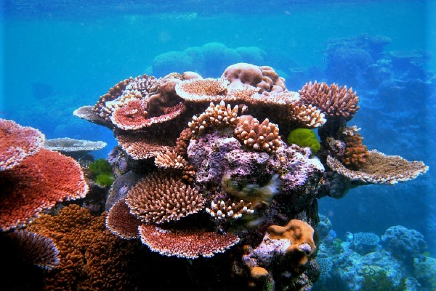 1527695536_raecif-corallien